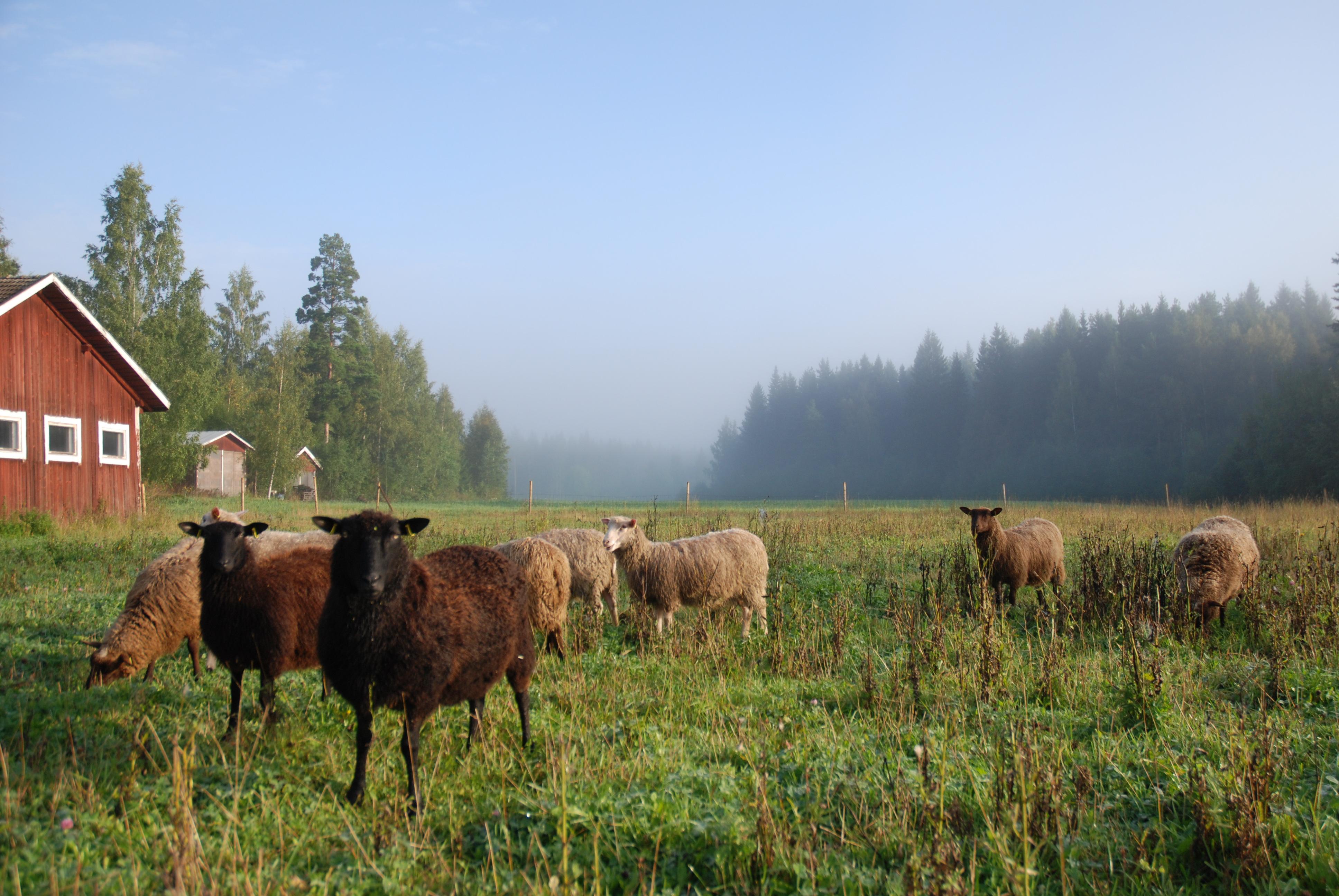 羊の様子写真